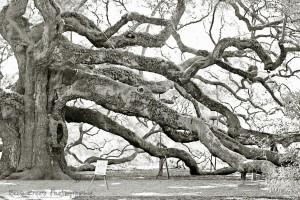 Angel Oak 18 wm
