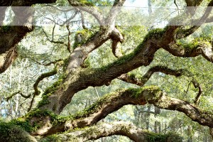 Angel Oak 8 wm