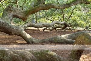 Angel Oak 9 wm