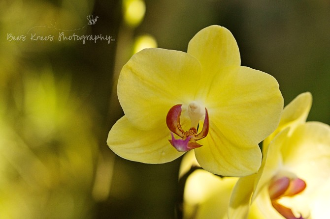 Yellow Orchid 1 wm