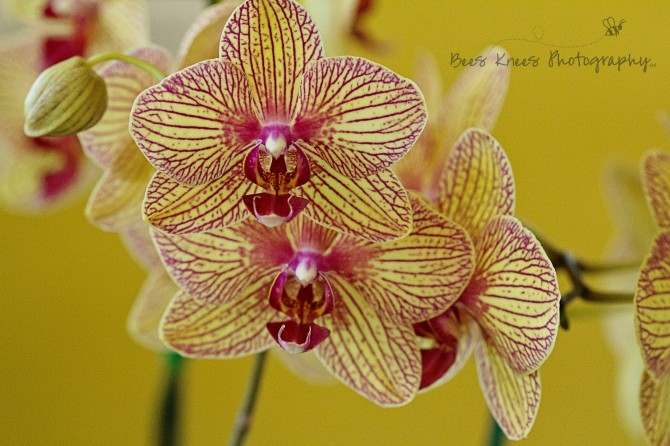 Yellow Orchid wm
