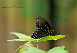 Butterfly 1 wm