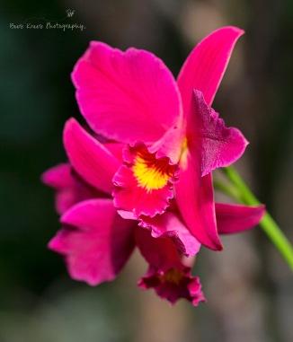 Fuschia Orchid 1 wm copy