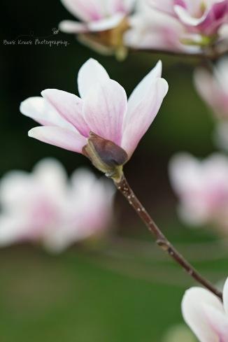Saucer Magnolia 4 wm