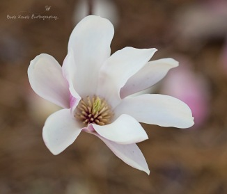 Saucer Magnolia 5 wm