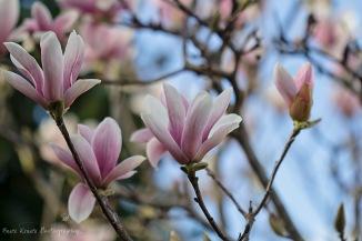 Saucer Magnolia 6 wm
